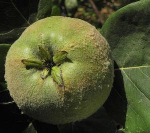 Quitte Baum Frucht gruen Cydonia oblonga 08