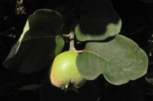 Quitte Baum Frucht gruen Cydonia oblonga 09