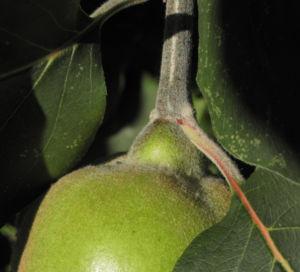 Quitte Baum Frucht gruen Cydonia oblonga 10