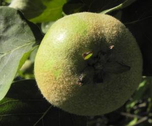 Quitte Baum Frucht gruen Cydonia oblonga 11
