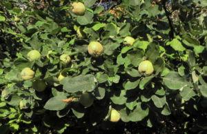 Quitte Baum Frucht gruen Cydonia oblonga 12