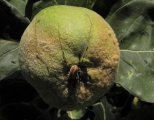 Quitte Baum Frucht gruen Cydonia oblonga 13