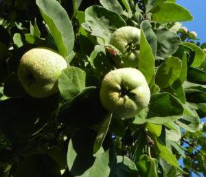 Quitte Baum Frucht gruen Cydonia oblonga 14