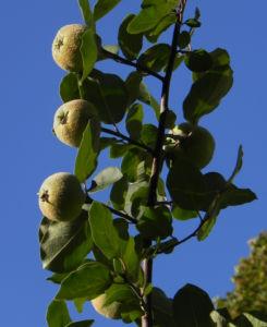 Quitte Baum Frucht gruen Cydonia oblonga 15