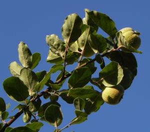 Quitte Baum Frucht gruen Cydonia oblonga 16