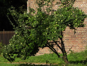 Quitte Baum Frucht gruen Cydonia oblonga 17