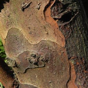 Quitte Baum Rinde braun Cydonia oblonga 02