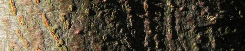 Anklicken um das ganze Bild zu sehen  Quitte Baum Frucht grün Cydonia oblonga