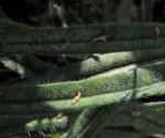 Rachenbluetiger Salbei Blatt gruen Salvia ringens 03
