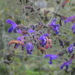 Rachenbluetiger Salbei Bluete lila Salvia ringens 03 1