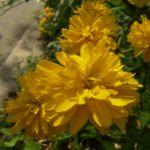 Ranunkelstrauch Bluete Kerria japonica 01