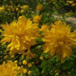 Ranunkelstrauch Bluete Kerria japonica 03
