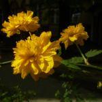Ranunkelstrauch Bluete Kerria japonica 05