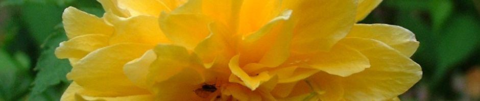 ranunkelstrauch-kerria-japonica