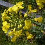 Raps Bluete gelb Brassica napus 06