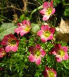 Rasen Steinbrech Bluete pink Saxifraga rosaea 04