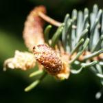 Rauhe Fichte Baum Nadeln gruen Picea asperata 03