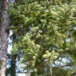 Rauhe Fichte Nadel gruen Picea asperata 03