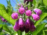Rauher Beinwell Bluete lila Symphytum asperum 04