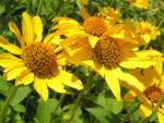 Rauhes Sonnenauge Bluete gelb Heliopsis helianthoides 02