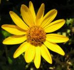 Rauhes Sonnenauge Bluete gelb Heliopsis helianthoides 03