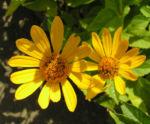 Rauhes Sonnenauge Bluete gelb Heliopsis helianthoides 04