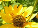 Rauhes Sonnenauge Bluete gelb Heliopsis helianthoides 05