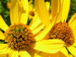 Rauhes Sonnenauge Bluete gelb Heliopsis helianthoides 06