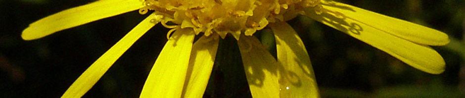 raukenblaettriges-greiskraut-bluete-gelb-senecio-erucifolius