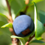 Rauschbeere Strauch Frucht blau Vaccinium uligionosum 01