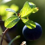 Rauschbeere Strauch Frucht blau Vaccinium uligionosum 03
