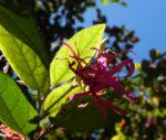 Razzle Berry Bluete pink Loropetalum chinense 07