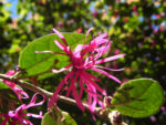 Razzle Berry Bluete pink Loropetalum chinense 08