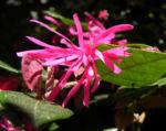 Razzle Berry Bluete pink Loropetalum chinense 09