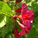 Reichbluetige Weigelie Bluete Weigelia floribunda 01
