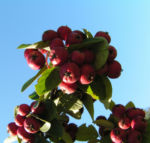 Reichbluetige Zwergmispel Frucht rot Cotoneaster multiflorus 02