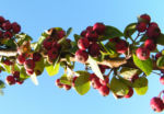 Reichbluetige Zwergmispel Frucht rot Cotoneaster multiflorus 06