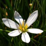 Reinweisse Zephirblume Bluete weiss Zephyranthes candida 04