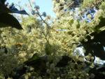 Reispapierbaum Bluete weiss Tetrapanx papyriferum 06