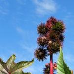 Rhizinus Blatt grün rot Ricinus communis 02