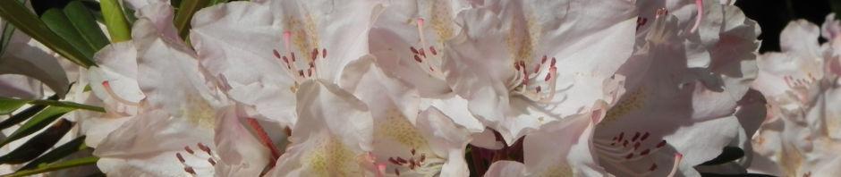 rhododendron-busch-blatt-gruen-bluete-rosa-weiss