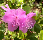 Rhododendron Strauch immergruen Bluete pink Rhododendron sichotense 02