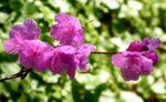 Rhododendron Strauch immergruen Bluete pink Rhododendron sichotense 03