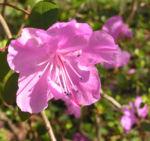 Rhododendron Strauch immergruen Bluete pink Rhododendron sichotense 04