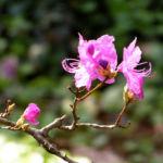 Rhododendron Strauch immergruen Bluete pink Rhododendron sichotense 05