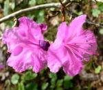 Rhododendron Strauch immergruen Bluete pink Rhododendron sichotense 07