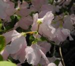 Rhododendron Wildart Blute rosa Rhododendron schlippenbachii 11