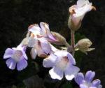 Rhodopen Haberlea Bluete weiss lila Haberlea rhodopensis 05