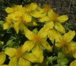 Rhodopen Johanniskraut Bluete gelb Hypericum cerastoides 03
