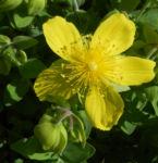 Bild:  Rhodopen-Johanniskraut Blüte gelb Hypericum cerastoides